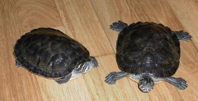 Tortugas en busca de hogar